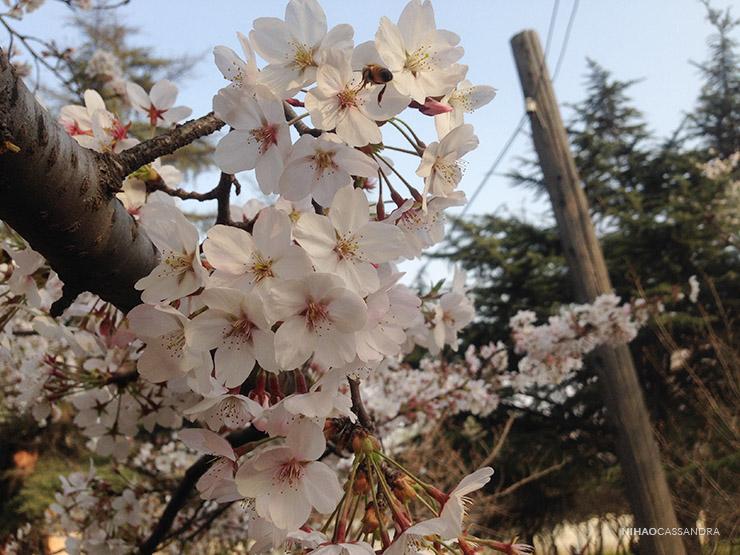 sakura_en_china_nihaocassandra03