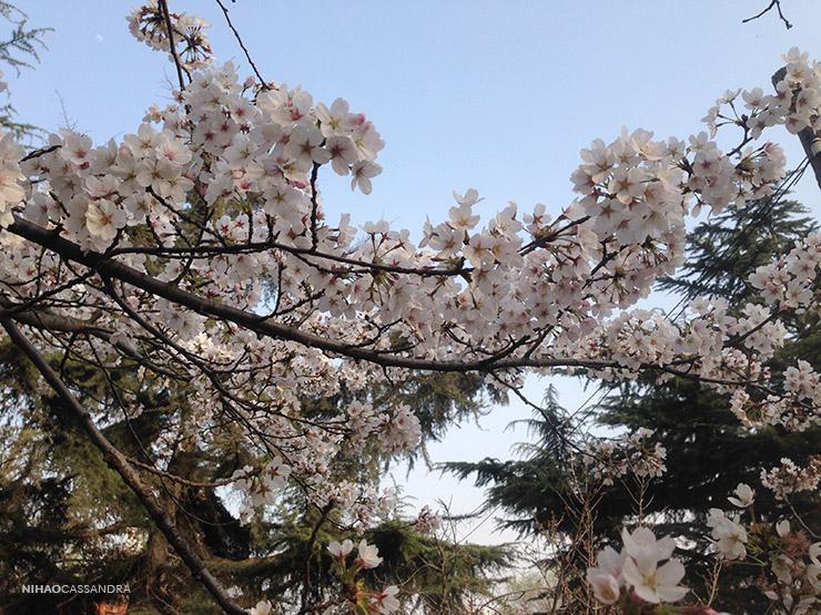sakura_en_china_nihaocassandra04