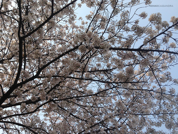 sakura_en_china_nihaocassandra05